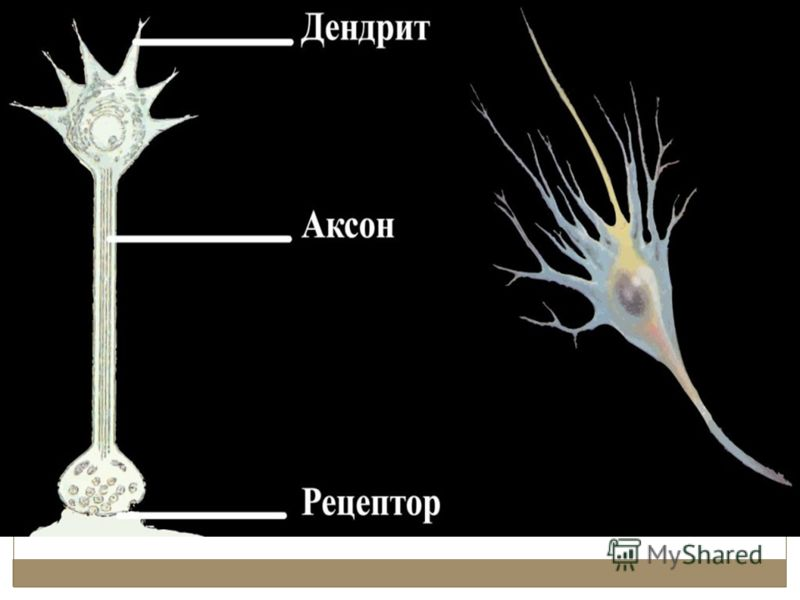 Виды нейронов: чувствительные двигательные вставочные Рецепторные (чувствительные) нейроны Двигательный нейрон Вставочный нейрон Зона дендритов Начало аксона Концевые разветвления