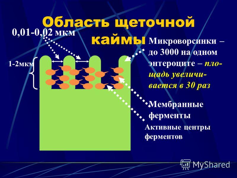 Область щеточной каймы Микроворсинки – до 3000 на одном энтероците – пло- щадь увеличи- вается в 30 раз 0,01-0,02 мкм Мембранные ферменты Активные центры ферментов 1-2мкм