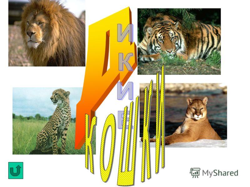 . Начинается история домашних кошек с Древнего Египта, где они были в большом почете. Египтяне кошек обожествляли и любили. В каждом порядочном доме жила кошка. Именно ее спасали в первую очередь, если в доме случался пожар. Если она погибала, хозяев
