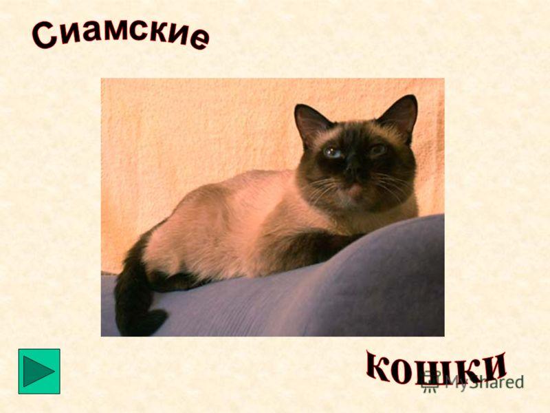 Персидская Самая популярная порода кошек. Среди персов насчитывается более 30 цветовых вариаций: белые и чёрные, красные и кремовые, двухцветные, дымчатые, голубые, шиншиллы и т.д. У этих кошек роскошная шубка. Характер у них покладистый. Они ласковы