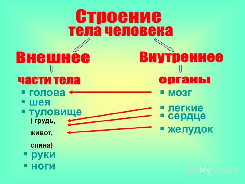 Желудок находится в верхней части живота, под рёбрами с левой стороны. Он перерабатывает пищу.