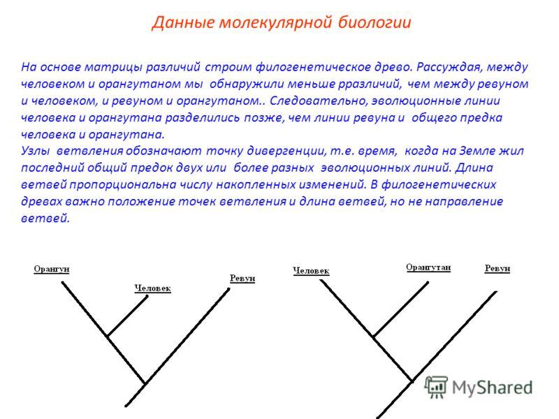 На основе матрицы различий строим филогенетическое древо. Рассуждая, между человеком и орангутаном мы обнаружили меньше рразличий, чем между ревуном и человеком, и ревуном и орангутаном.. Следовательно, эволюционные линии человека и орангутана раздел