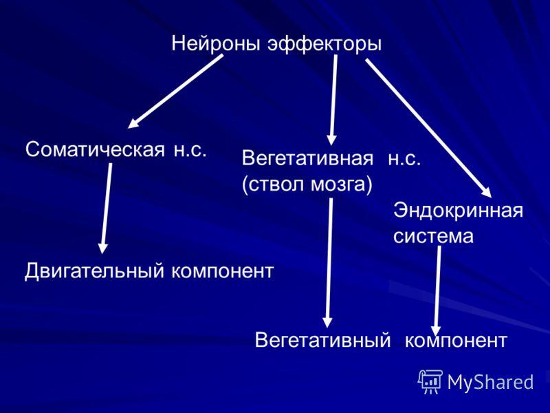 Нейроны эффекторы Соматическая н.с. Двигательный компонент Вегетативная н.с. (ствол мозга) Эндокринная система Вегетативный компонент