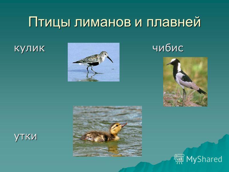 Птицы лиманов и плавней кулик чибис утки