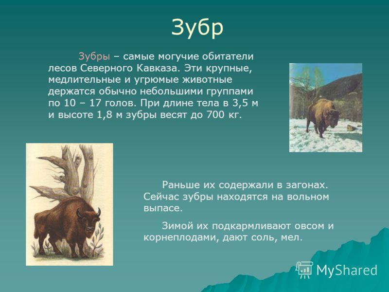 Зубр Зубры – самые могучие обитатели лесов Северного Кавказа. Эти крупные, медлительные и угрюмые животные держатся обычно небольшими группами по 10 – 17 голов. При длине тела в 3,5 м и высоте 1,8 м зубры весят до 700 кг. Раньше их содержали в загона