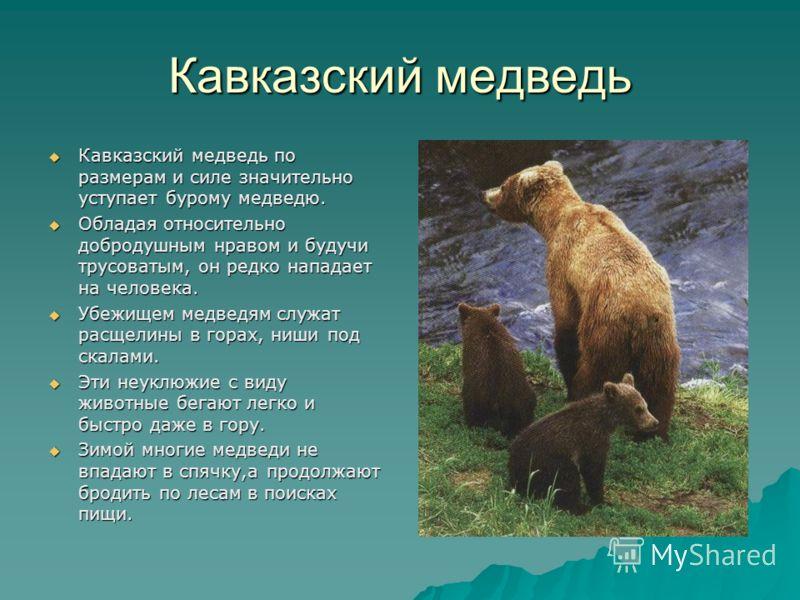 Кавказский медведь Кавказский медведь по размерам и силе значительно уступает бурому медведю. Кавказский медведь по размерам и силе значительно уступает бурому медведю. Обладая относительно добродушным нравом и будучи трусоватым, он редко нападает на