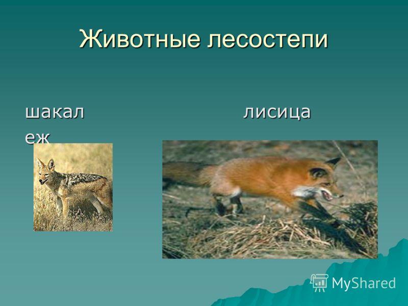 Животные лесостепи шакал лисица еж