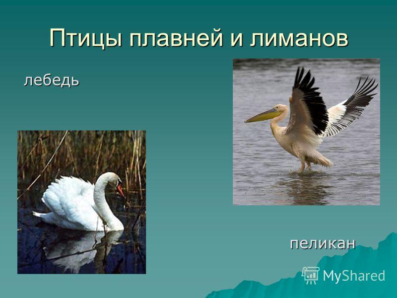 Птицы плавней и лиманов лебедь пеликан пеликан