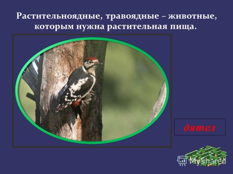 дятел Растительноядные, травоядные – животные, которым нужна растительная пища.