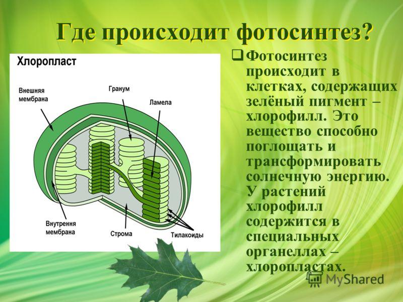Где происходит фотосинтез? Фотосинтез происходит в клетках, содержащих зелёный пигмент – хлорофилл. Это вещество способно поглощать и трансформировать солнечную энергию. У растений хлорофилл содержится в специальных органеллах – хлоропластах.