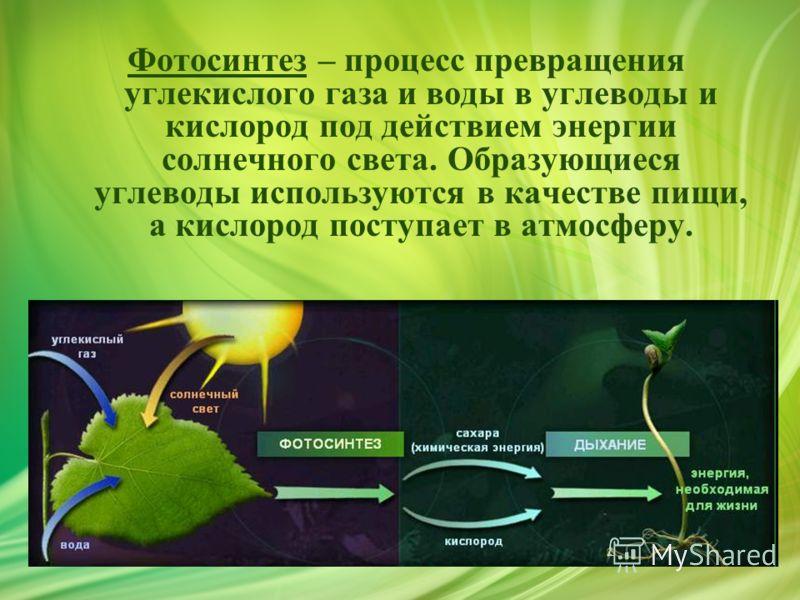 Фотосинтез – процесс превращения углекислого газа и воды в углеводы и кислород под действием энергии солнечного света. Образующиеся углеводы используются в качестве пищи, а кислород поступает в атмосферу.