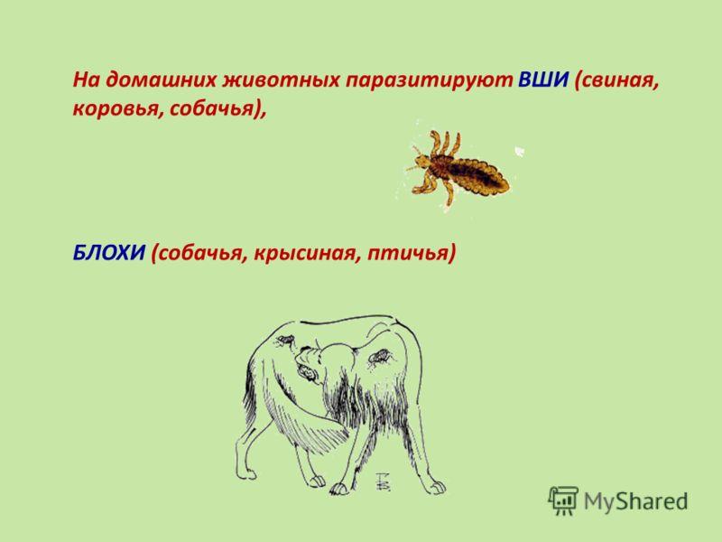 На домашних животных паразитируют ВШИ (свиная, коровья, собачья), БЛОХИ (собачья, крысиная, птичья)