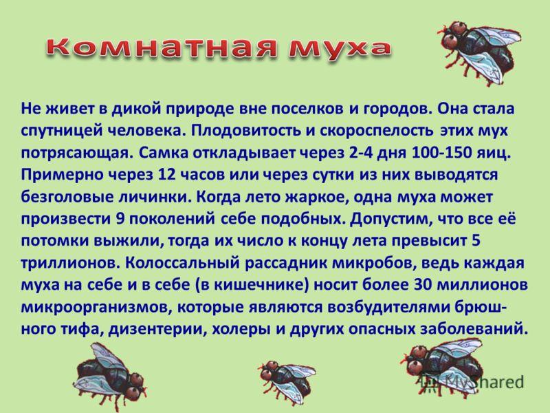 Не живет в дикой природе вне поселков и городов. Она стала спутницей человека. Плодовитость и скороспелость этих мух потрясающая. Самка откладывает через 2-4 дня 100-150 яиц. Примерно через 12 часов или через сутки из них выводятся безголовые личинки