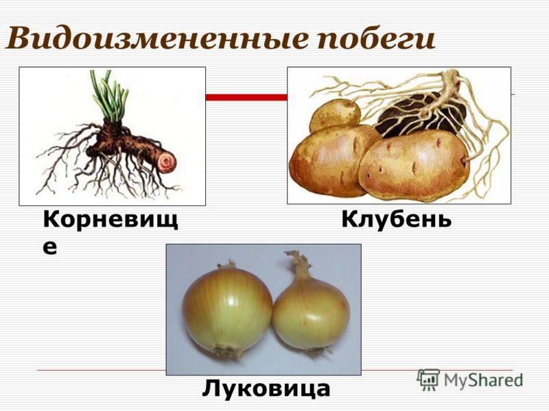 Видоизмененные побеги Клубень Луковица Корневищ е
