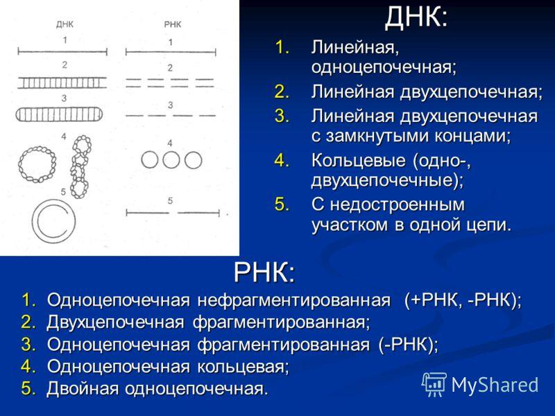 ДНК: ДНК: 1.Линейная, одноцепочечная; 2.Линейная двухцепочечная; 3.Линейная двухцепочечная с замкнутыми концами; 4.Кольцевые (одно-, двухцепочечные); 5.С недостроенным участком в одной цепи. РНК: 1. Одноцепочечная нефрагментированная (+РНК, -РНК); 2.