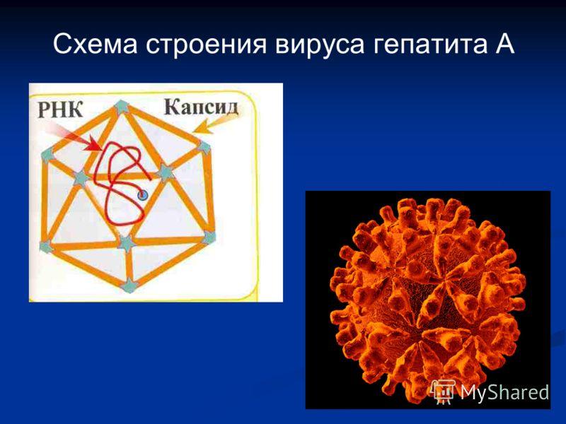 Схема строения вируса гепатита А