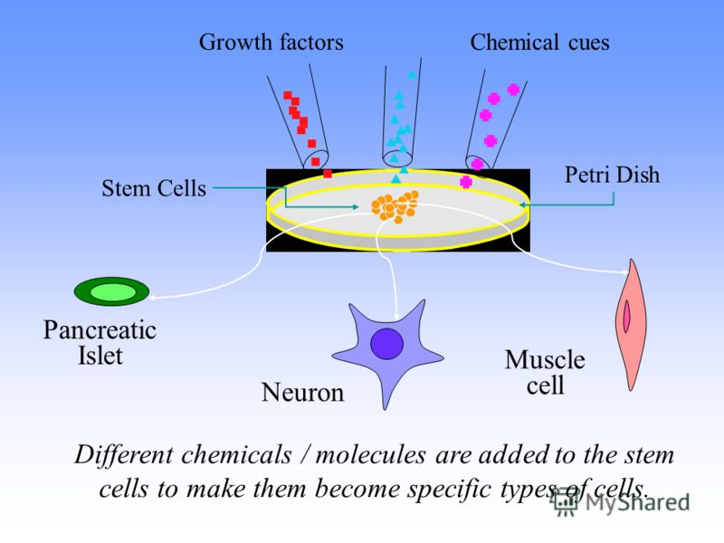 Neuron Muscle cell Pancreatic Islet Petri Dish Stem Cells Different chemicals / molecules are added to the stem cells to make them become specific types of cells. Growth factors Chemical cues