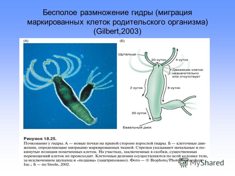 Бесполое размножение гидры (миграция маркированных клеток родительского организма) (Gilbert,2003)