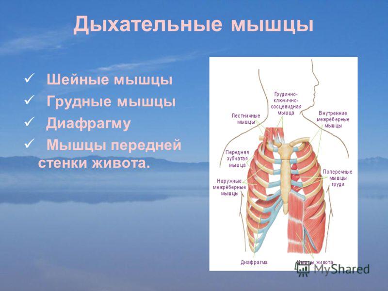 Дыхательные мышцы Шейные мышцы Грудные мышцы Диафрагму Мышцы передней стенки живота.