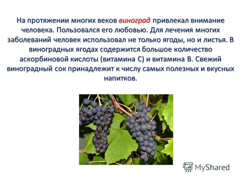 На протяжении многих веков виноград привлекал внимание человека. Пользовался его любовью. Для лечения многих заболеваний человек использовал не только ягоды, но и листья. В виноградных ягодах содержится большое количество аскорбиновой кислоты (витами