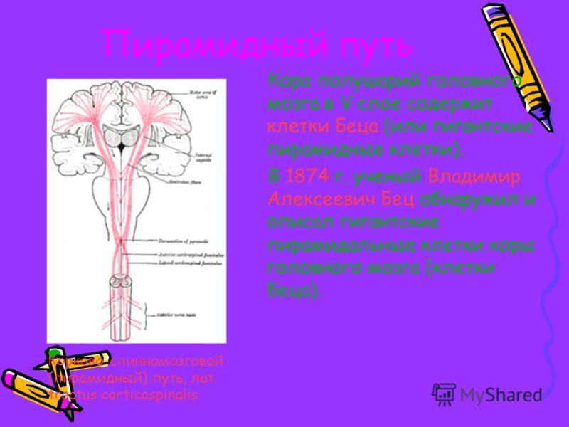 Пирамидная система играет особую роль в прямохождении. Пирамидная система красный цвет. Поперечный разрез спинного мозга. Пирамидная система красный цвет.