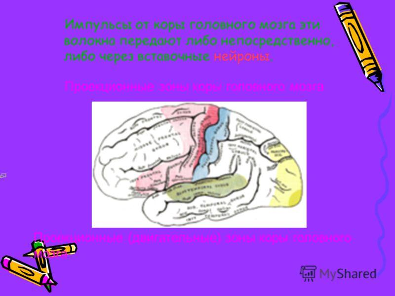 Пирамидный путь осуществляется нервными волокнами, которые исходят от этих клеток Беца, и спускаются в спинной мозг, не прерываясь. Пирамидный путь проходит через внутреннюю капсулу, ствол мозга, отдавая на своем пути ответвления (коллатерали) с экст