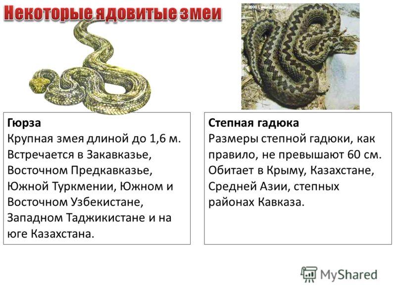 Гюрза Крупная змея длиной до 1,6 м. Встречается в Закавказье, Восточном Предкавказье, Южной Туркмении, Южном и Восточном Узбекистане, Западном Таджикистане и на юге Казахстана. Степная гадюка Размеры степной гадюки, как правило, не превышают 60 см. О