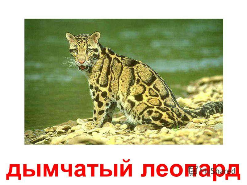 леопард (барс)