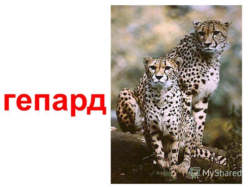 детеныш амурского леопарда