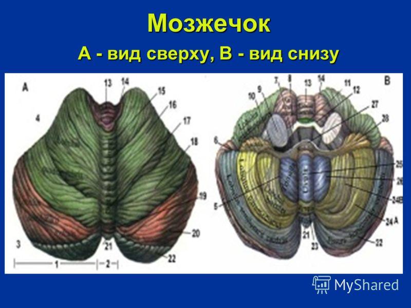 Мозжечок А - вид сверху, В - вид снизу Мозжечок А - вид сверху, В - вид снизу