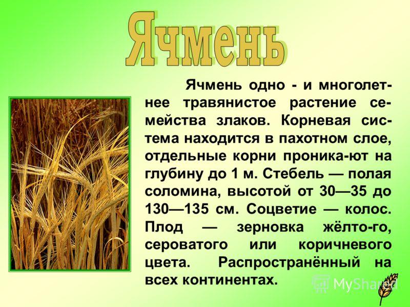 Ячмень одно - и многолет- нее травянистое растение се- мейства злаков. Корневая сис- тема находится в пахотном слое, отдельные корни проника-ют на глубину до 1 м. Стебель полая соломина, высотой от 3035 до 130135 см. Соцветие колос. Плод зерновка жёл