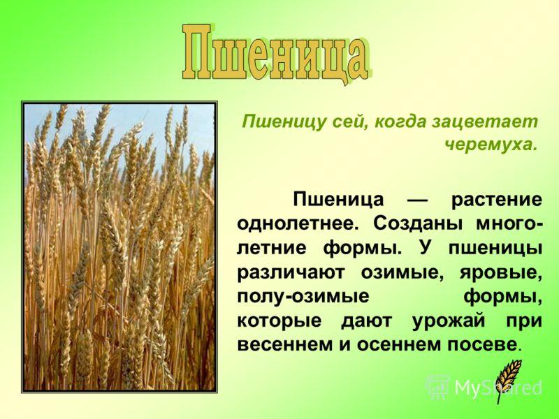 Пшеницу сей, когда зацветает черемуха. Пшеница растение однолетнее. Созданы много- летние формы. У пшеницы различают озимые, яровые, полу-озимые формы, которые дают урожай при весеннем и осеннем посеве.