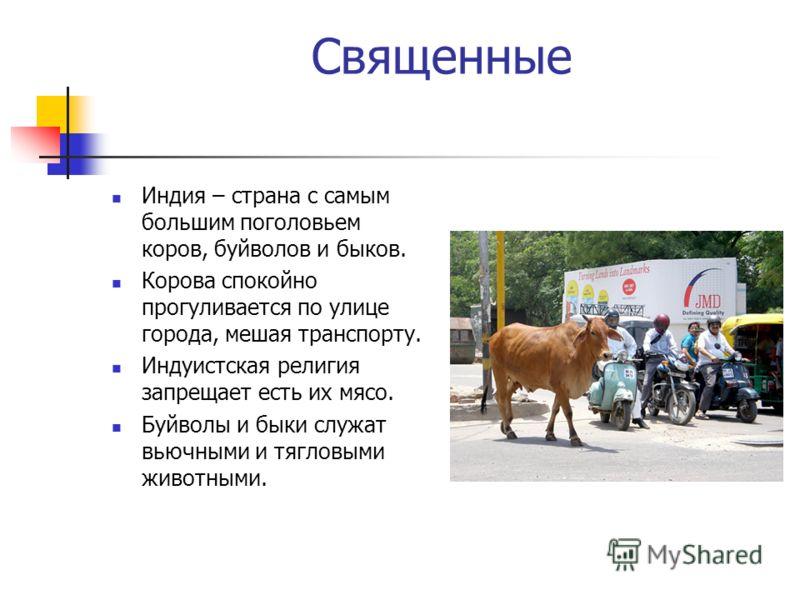 Священные Индия – страна с самым большим поголовьем коров, буйволов и быков. Корова спокойно прогуливается по улице города, мешая транспорту. Индуистская религия запрещает есть их мясо. Буйволы и быки служат вьючными и тягловыми животными.