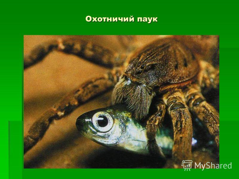 Охотничий паук