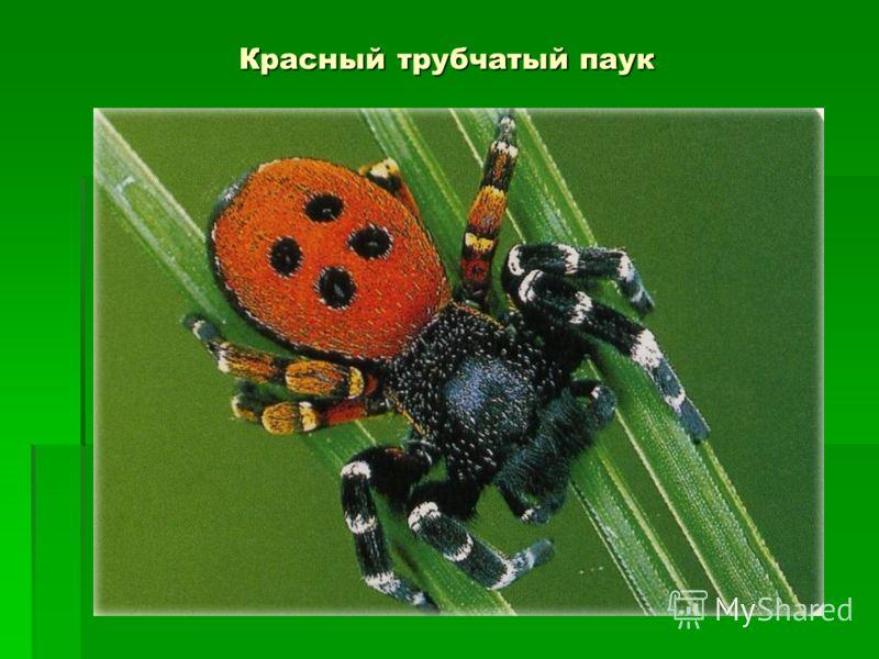 Красный трубчатый паук