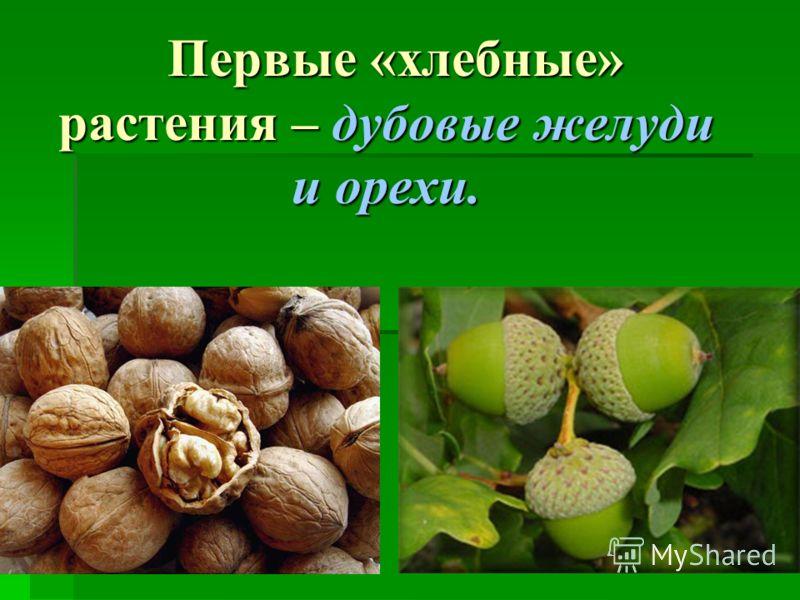 Первые «хлебные» растения – дубовые желуди и орехи.