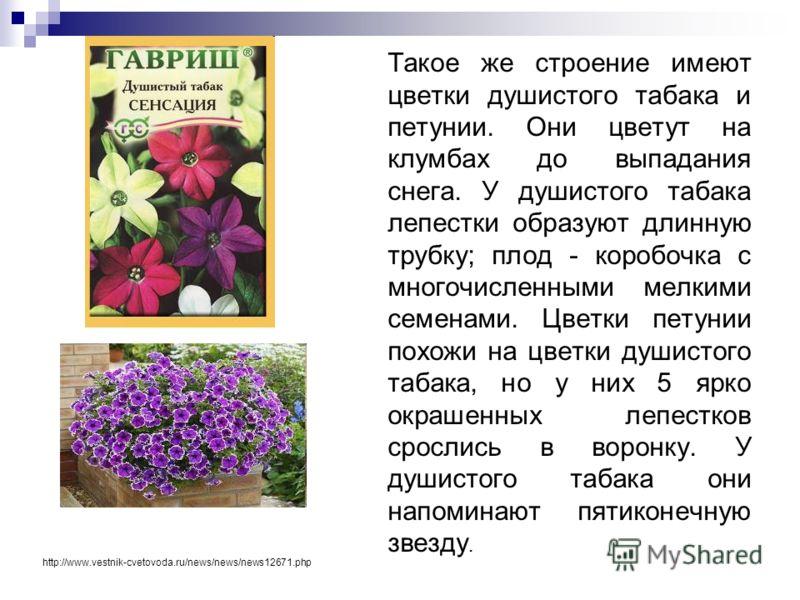 Такое же строение имеют цветки душистого табака и петунии. Они цветут на клумбах до выпадания снега. У душистого табака лепестки образуют длинную трубку; плод - коробочка с многочисленными мелкими семенами. Цветки петунии похожи на цветки душистого т