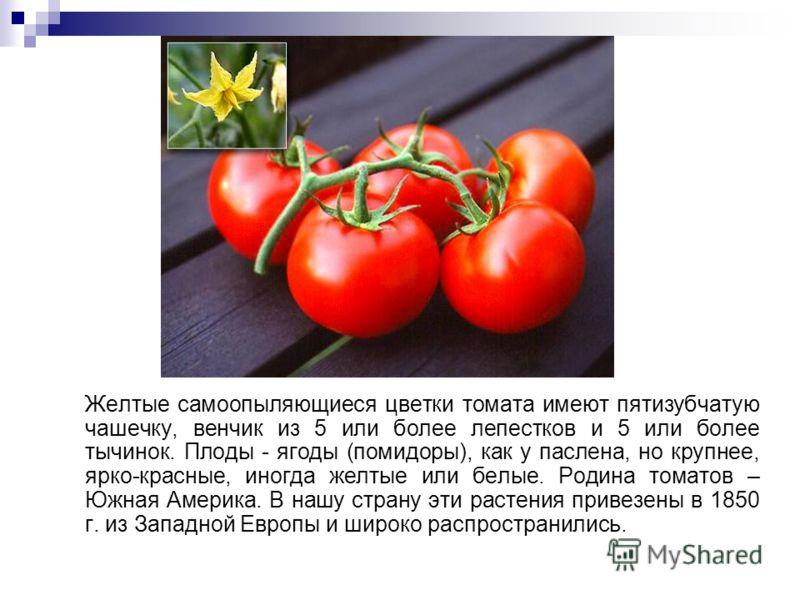 Желтые самоопыляющиеся цветки томата имеют пятизубчатую чашечку, венчик из 5 или более лепестков и 5 или более тычинок. Плоды - ягоды (помидоры), как у паслена, но крупнее, ярко-красные, иногда желтые или белые. Родина томатов – Южная Америка. В нашу