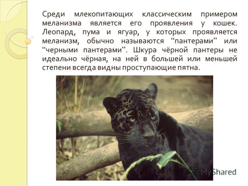 Среди млекопитающих классическим примером меланизма является его проявления у кошек. Леопард, пума и ягуар, у которых проявляется меланизм, обычно называются пантерами или черными пантерами. Шкура чёрной пантеры не идеально чёрная, на ней в большей и
