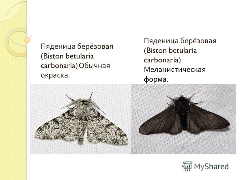 Пяденица берёзовая (Biston betularia carbonaria) Обычная окраска. Пяденица берёзовая (Biston betularia carbonaria) Меланистическая форма.