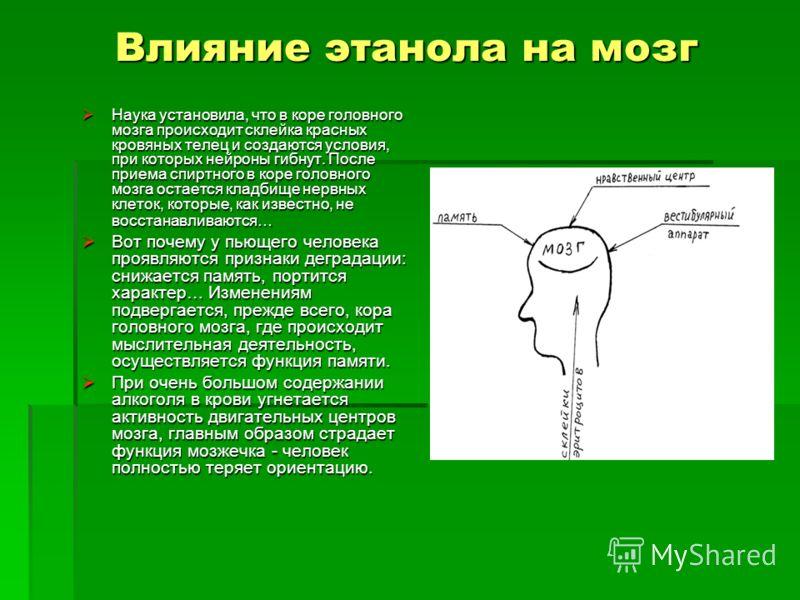 Влияние этанола на мозг Наука установила, что в коре головного мозга происходит склейка красных кровяных телец и создаются условия, при которых нейроны гибнут. После приема спиртного в коре головного мозга остается кладбище нервных клеток, которые, к