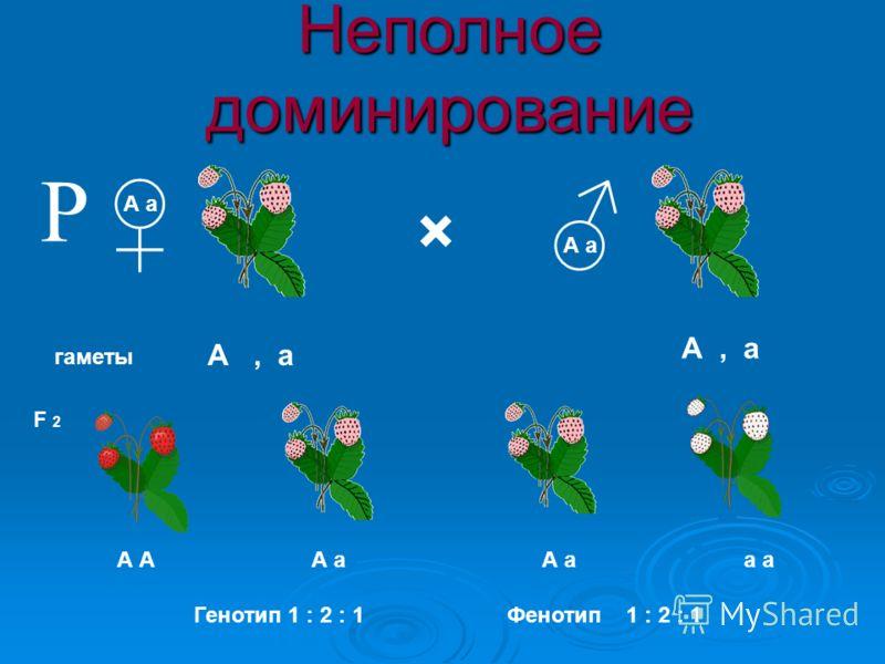 × гаметы А а F 2 А, а А А а а Р Фенотип1 : 2 : 1 Неполное доминирование Генотип 1 : 2 : 1