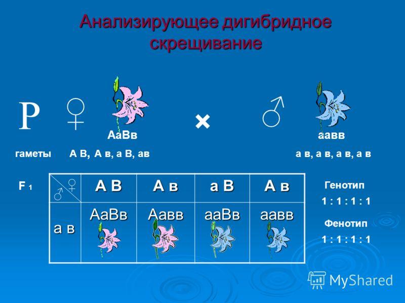 Анализирующее дигибридное скрещивание × гаметы F 1 А В, А в, а В, ав Р АаВваавв а в, а в, а в, а в А В А в а В А в а в АаВвАаввааВваавв Генотип 1 : 1 : 1 : 1 Фенотип