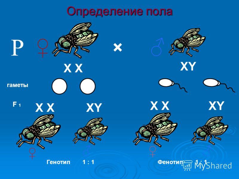 Определение пола × гаметы F 1 Р Генотип1 : 1 Фенотип XY X X XY XX XY