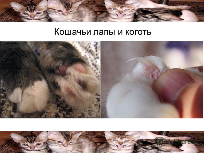 Кошачьи лапы и коготь