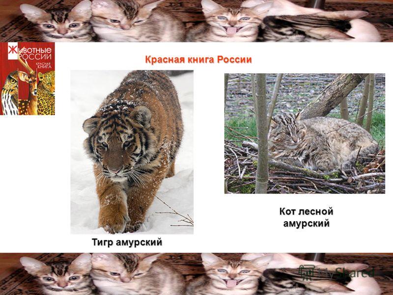 Тигр амурский Кот лесной амурский Красная книга России
