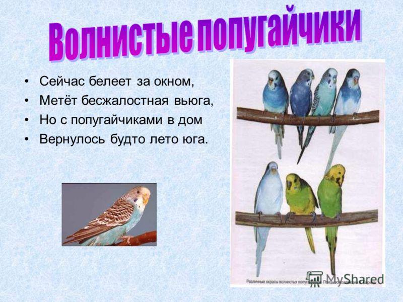 Сейчас белеет за окном, Метёт бесжалостная вьюга, Но с попугайчиками в дом Вернулось будто лето юга.