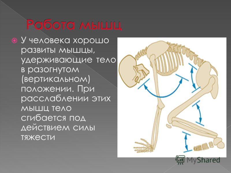 У человека хорошо развиты мышцы, удерживающие тело в разогнутом (вертикальном) положении. При расслаблении этих мышц тело сгибается под действием силы тяжести