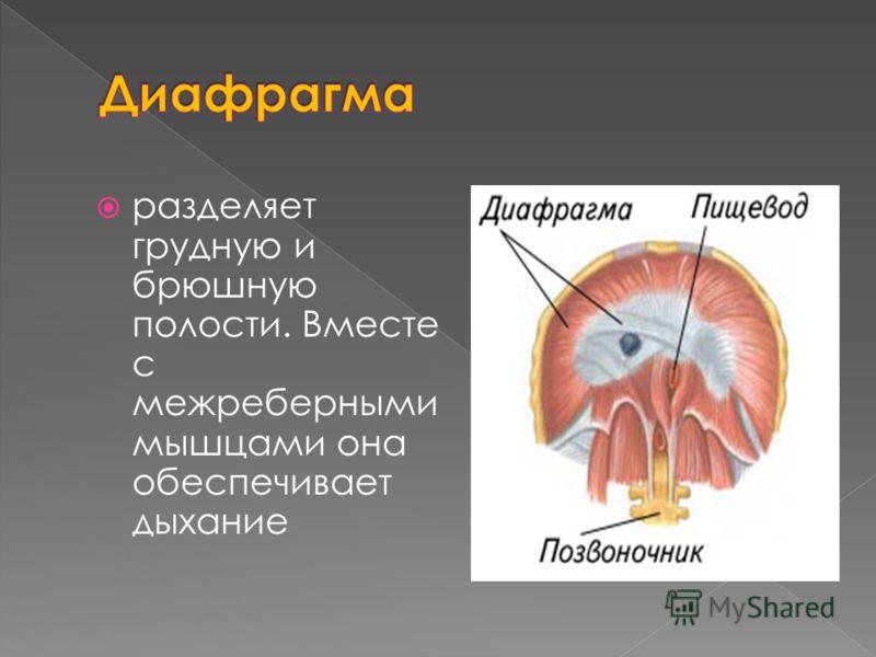 разделяет грудную и брюшную полости. Вместе с межреберными мышцами она обеспечивает дыхание