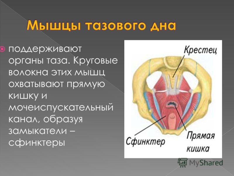 поддерживают органы таза. Круговые волокна этих мышц охватывают прямую кишку и мочеиспускательный канал, образуя замыкатели – сфинктеры